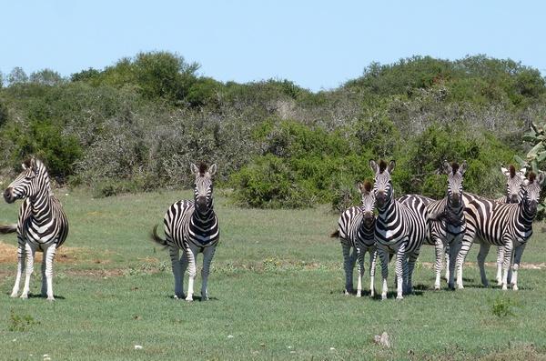 ZEBRE AFRIQUE
